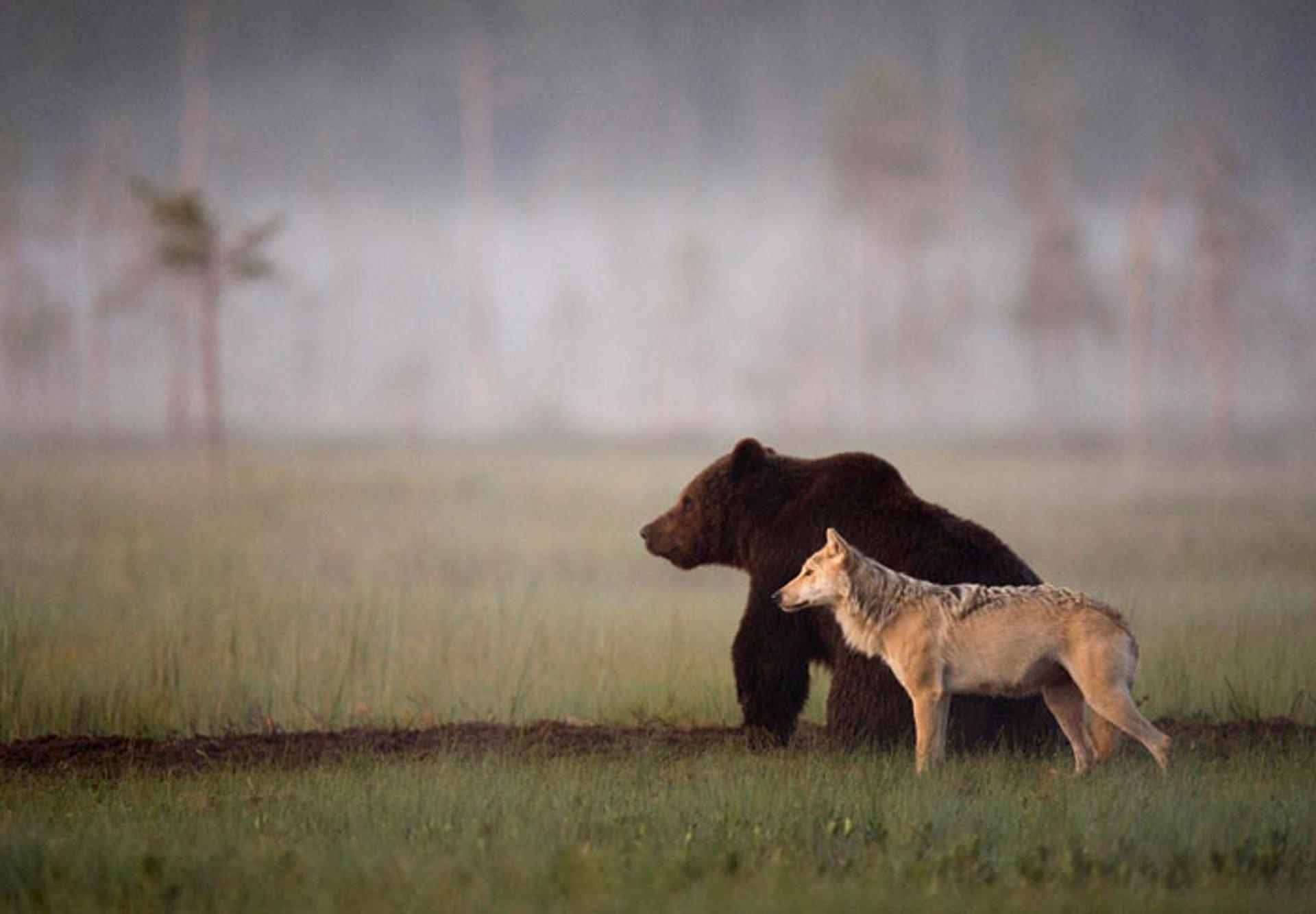rare-animal-friendship-gray-wolf-brown-bear-lassi-rautiainen-finland-cover